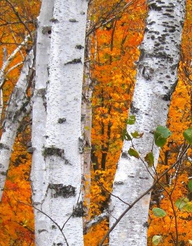 Cracklin Birch BS2