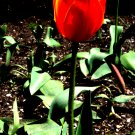 Red Tulip Fine Art Photo  8x10