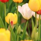 White Tulip Fine Art Photo 8x10
