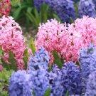 Hyacinths Fine Art Photo 8x10