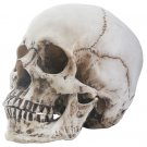 Realistic Faux Life Size Human Skull Head Skeleton Sculpture Statue Halloween Prop