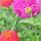 100 HEIRLOOM ZINNIA  California Giant Mix seeds