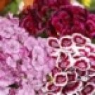 100 HEIRLOOM DIANTHUS, SWEET WILLIAM   SEEDS MIX
