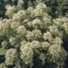 100 HEIRLOOM Mignonette seeds Reseda odorata SEEDS