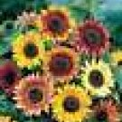 100 HEIRLOOM Sunflower, (Autumn Beauty ) SEEDS