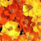50 Heirloom Cosmos Bright Lights Seeds