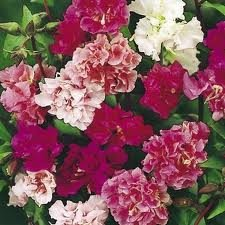100 HEIRLOOM DOUBLE Clarkia elegans MIX COLOR   Seeds