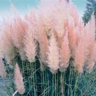 100 Ornamental Pink Pampas  Cortaderia Selloana  Grass Seeds