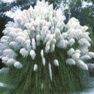 100 Ornamental Cortaderia Selloana , White Pampas Grass Seeds