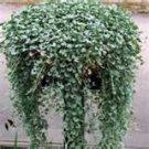 5 Dichondra (Dichondra Silver Falls) Seeds