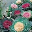 25 Ornamental Cabbage (Brassica oleracea ) Mixed  Seeds