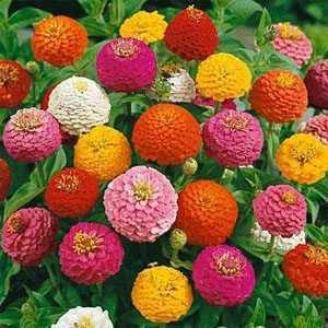 100 HEIRLOOM  (Zinnia Elegans Lilliput Mix ) seeds