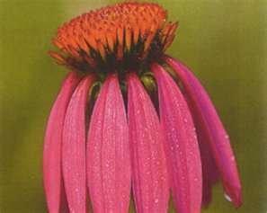 100 Black Samson Echinacea angustifolia Seeds