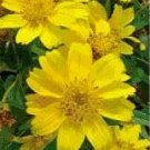 100 Earlybird Nyger, Nyjer Guizotia Abyssinica  Flower Seeds