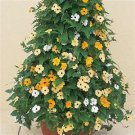 35 HEIRLOOM Black-eyed Susan Susie Mix vine Thunbergia Alata SEEDS