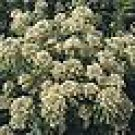 100 HEIRLOOM Mignonette seeds (Reseda odorata) SEEDS