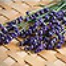 100 HEIRLOOM Evergreen Perennial, Lavender 'Munstead' SEEDS