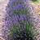 100 HEIRLOOM Lavender (Lavendula angustifolia)True SEED
