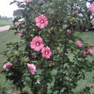 100 Heirloom  Rose of sharon shrubs{Hibiscus } seeds