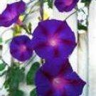 50 HEIRLOOM Morning Glory Grandpa Ott Seeds