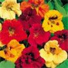 50 HEIRLOOM Tropaeolum Majus Jewel Nasturtium, Edible plant (vl) Mix SEEDS