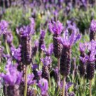 100 Italian Lavender Lavandula angustifolia Perennial Seeds