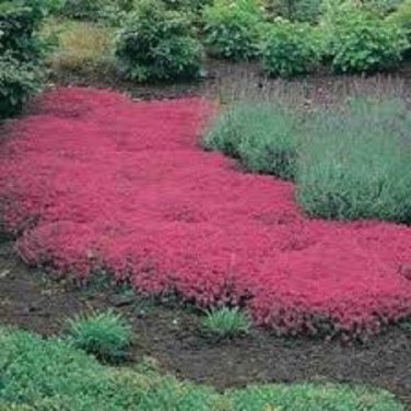 100 HEIRLOOM Creeping Thyme Seeds