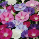 50  HEIRLOOM Morning Glory Ipomoea Purpurea Mixed Flower Seeds