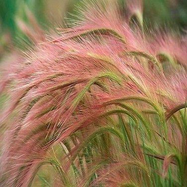 100 Ornamental Foxtail Barley (Hordeum Jubatum)(AKA Squirreltail) Grass Seeds