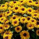 400 HEIRLOOM Brown-eyed Susan Rudbeckia, Gloriosa seeds
