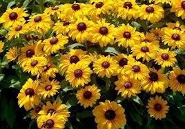 400 HEIRLOOM Brown-eyed Susan Rudbeckia, Gloriosa seeds