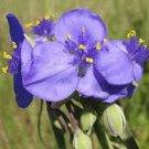 50 Heirloom Ohio Spiderwort (Tradescantia Ohiensis) perennial  Seeds
