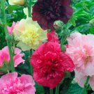 50 Heirloom Hollyhock Double Majorette Mix seeds