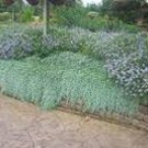 1000  Dichondra (Dichondra Repens) Seeds