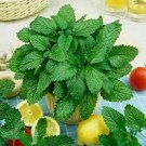 50 Heirloom Lemon balm (Melissa Officinalis ) Seeds