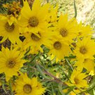 100 Variety Perennial Maximilian {Helianthus maximiliani} Sunflower Seeds