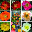 100 Iceland Poppy Perennial (Papaver Nudicaule) Mix Colors Seeds