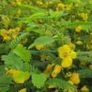 25 Variety Chamaecrista Fasciculata partridge Pea Seeds