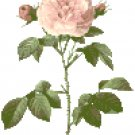 Redoute's Pale Pink Rose Pattern Chart Graph