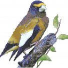 Evening Grosbeak Pattern Chart Graph