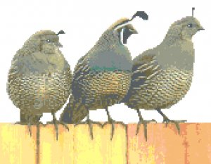 California Quail Family Pattern Chart Graph