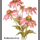 Pink Rudbeckia Blooms (Coneflowers) Pattern Chart Graph