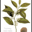 Nutmeg Spice Botanical Pattern Chart Graph