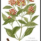 Cloves Spice Botanical Pattern Chart Graph