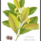 Allspice Spice Botanical Pattern Chart Graph