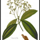 Cassia Cinnamon Spice Botanical Pattern Chart Graph