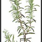 Rosemary Herb Pattern Chart Graph