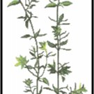 Thyme Herb Pattern Chart Graph