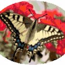 Anise Swallowtail Butterfly Cross Stitch Pattern Chart Graph