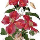 Ruby Red Clematis Cross Stitch Pattern Chart Graph